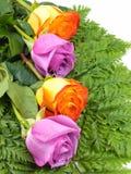Roses. Orange and purgle roses set on ferns Stock Photos