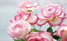 Roses Stock Image