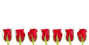 Roses. Against white background Vector Illustration