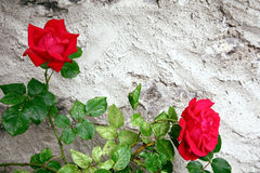 Roses. Two roses against rough stone gray wall Royalty Free Stock Photography