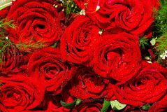 Roses Royalty Free Stock Images