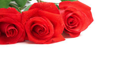 Roses. With drops of water isolated on white; copy space for your text Royalty Free Stock Photos