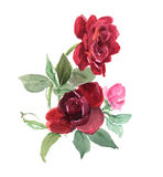 Roses. Dark red roses on the white background. Watercolor Royalty Free Stock Image