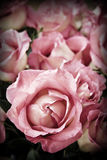 Roses. Beautiful romantic pink roses in high contrast color Royalty Free Stock Photo