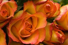 Roses. Beautiful fresh orange and yellow roses with raindrops Stock Images