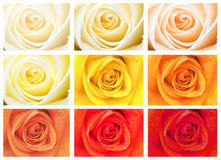 Roses. Shot of pretty roses in various shades Stock Photography