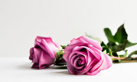 roses Photos libres de droits