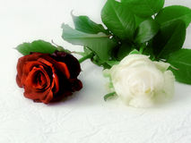 Roses. Couple of roses - red one and white one - lying on wrinkled white paper stock image