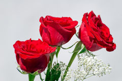 Roses. Bouquet of flowers. Three roses Stock Images