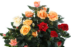 Roses. On the white background Stock Photos