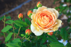Free Roses Royalty Free Stock Photography - 89685857