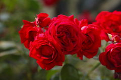 roses Images stock