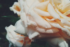 Roses all around. Processed with VSCO with f2 preset Stock Photography