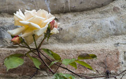Roses on the ancient wall Stock Photography