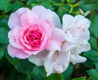 Roses anglaises Image stock