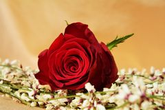 Roses and appreciation. Beautiful rose on a light background, symbol of love and appreciation Royalty Free Stock Photo