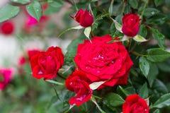 Roses après pluie Image libre de droits