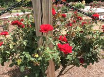 Roses au image stock