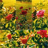 Roses in the autumn garden backlit, collage set of colorized images Stock Image