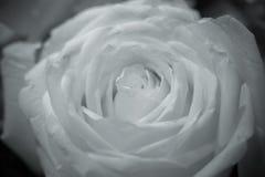 Roses aux nuances de noir et blanc Image libre de droits
