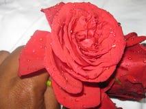 Roses avec des baisses de l'eau image stock