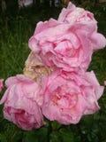 Roses roses avec des baisses de rosée Image libre de droits