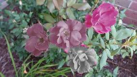 Roses avec des effets de quelques photos Photo stock