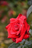 Roses avec des gouttes de pluie Photos stock