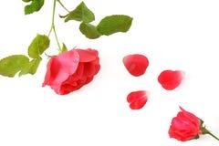 Roses avec des pétales, d'isolement Photo libre de droits
