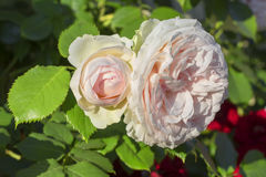 Roses avec les pétales roses Image libre de droits