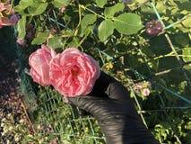 Roses roses avec une main dans les gants noirs image stock