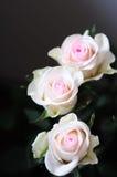 Roses background Stock Image