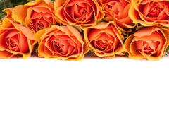 Roses Background Stock Photography