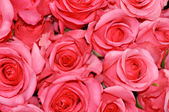 Roses Background. Beautiful Pink Roses fill the frame in this lovely background Royalty Free Stock Image