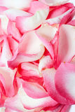 Roses on  background Stock Photography