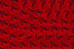 Roses background. Beautiful red roses  Valentine day  backgrond Stock Image