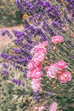 Roses on background of lavender, toned Royalty Free Stock Photos