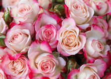 Roses background Stock Photos