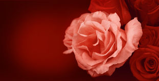 Roses banner Royalty Free Stock Image