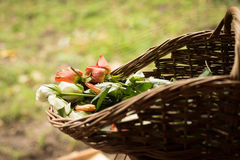 Roses in a basket in a garden. White and red wedding rose buds in a basket in a garden Royalty Free Stock Photos