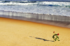 Roses in the beach Royalty Free Stock Photo