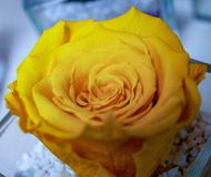 Roses, beautiful flowers of various colors. they are given to send messages. in the picture a specimen of a very yellow-colored ro. Se stock images