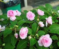Roses. Beautiful roses Found At garden Stock Images