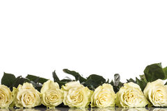 Roses. Beautiful fresh roses on a white background Royalty Free Stock Photos