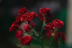 Rose. S are so beautiful! Just admire Royalty Free Stock Image