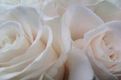 Roses. Beautiful roses nbcvbh Stock Image