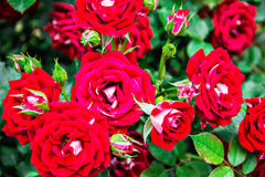 Roses. Beautiful red roses. garden flower stock photography