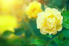 Roses. Beautiful yellow climbing rose blooming in summer garden. Yellow Roses flowers growing outdoors royalty free stock photos