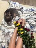 Roses and cat. Roses on the bed and a cat royalty free stock image