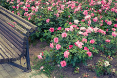 Roses bed and fragment of garden bench. Royalty Free Stock Photography